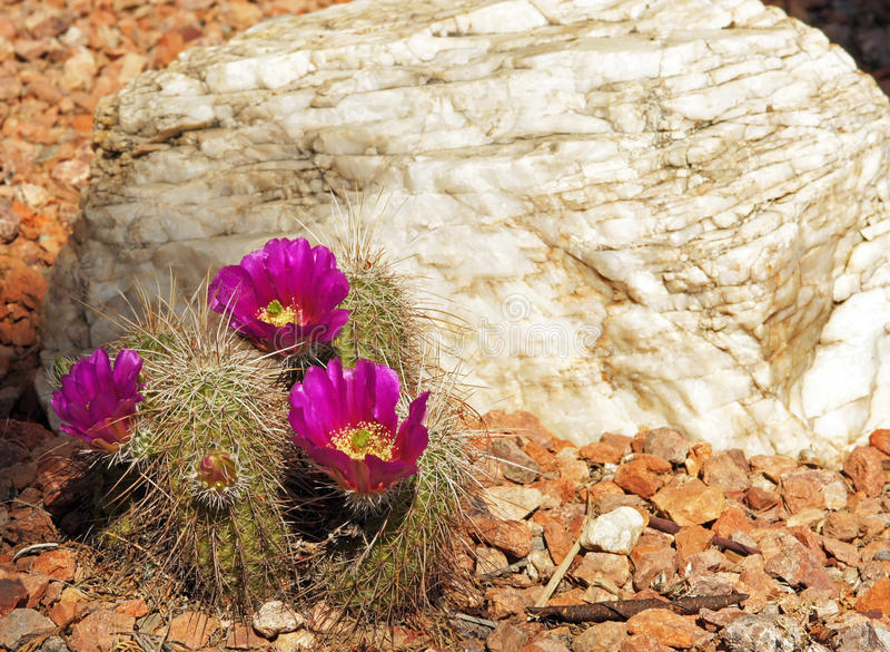 El rosa floreció el cactus de erizo fotografía de archivo