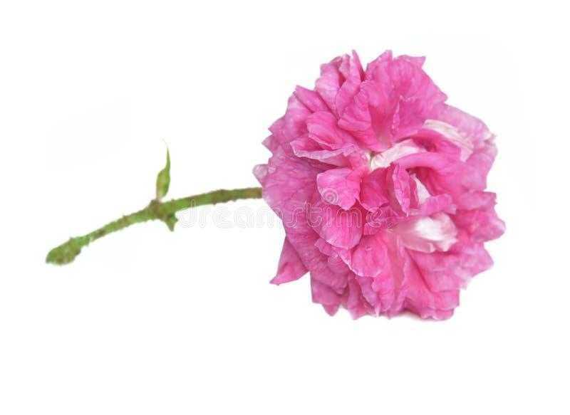 El rosa florecido doble hermoso subió aislado en el fondo blanco imágenes de archivo libres de regalías