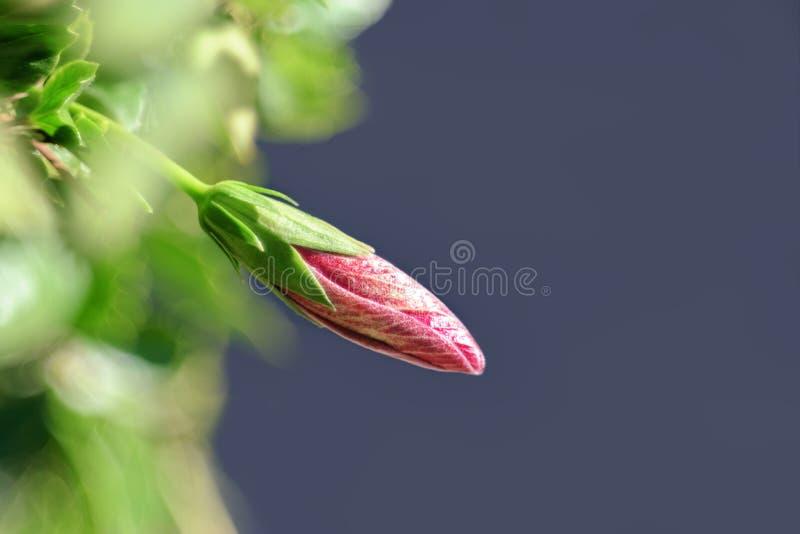 El rosa frágil delicado brota/brote fotos de archivo libres de regalías