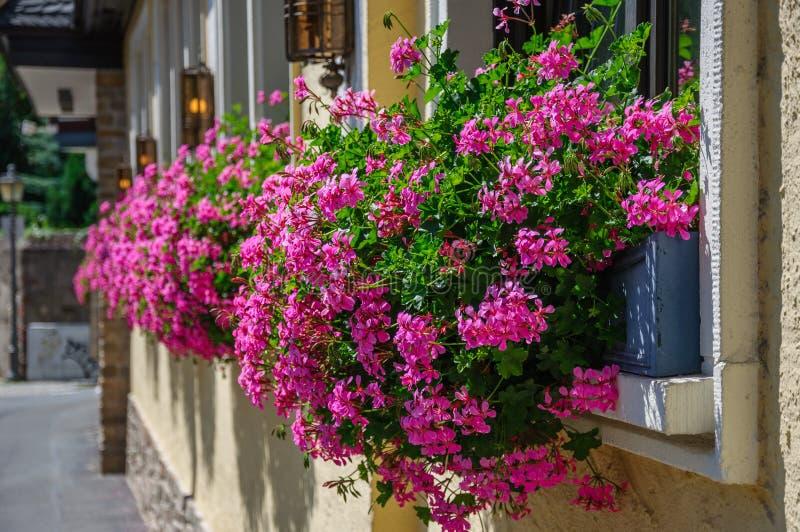 El rosa hermoso florece el Pelargonium caída-que traga adentro imagen de archivo libre de regalías