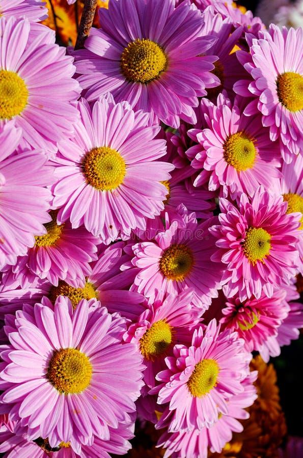 El rosa hermoso florece el primer, crisantemos del otoño fotografía de archivo libre de regalías