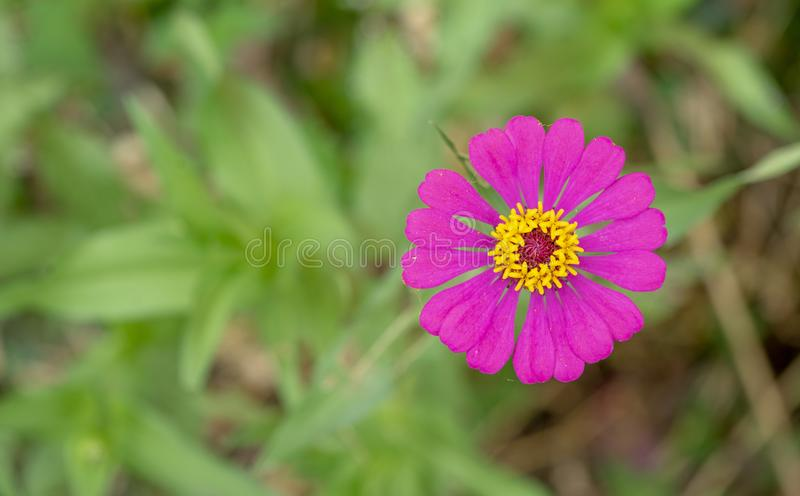 El rosa mexicano del aster florece en el bosque al lado del camino foto de archivo