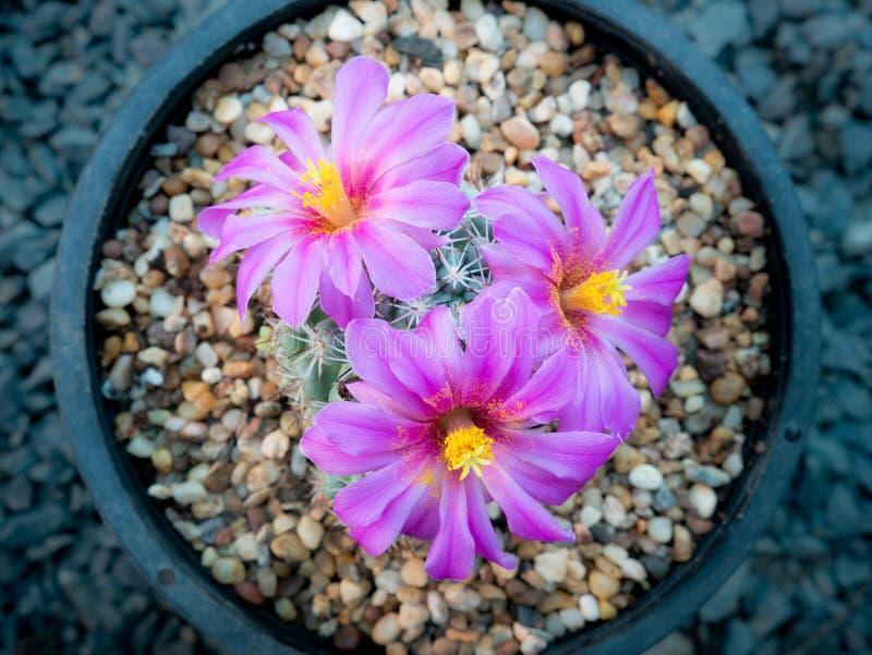 El rosa rayó la floración blanca de las flores del cactus imágenes de archivo libres de regalías