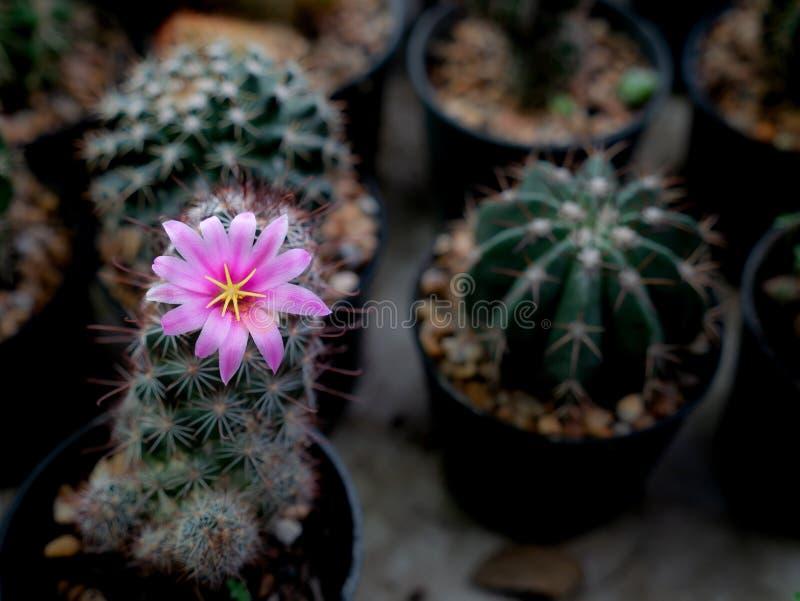 El rosa rayó la floración blanca de las flores del cactus fotos de archivo