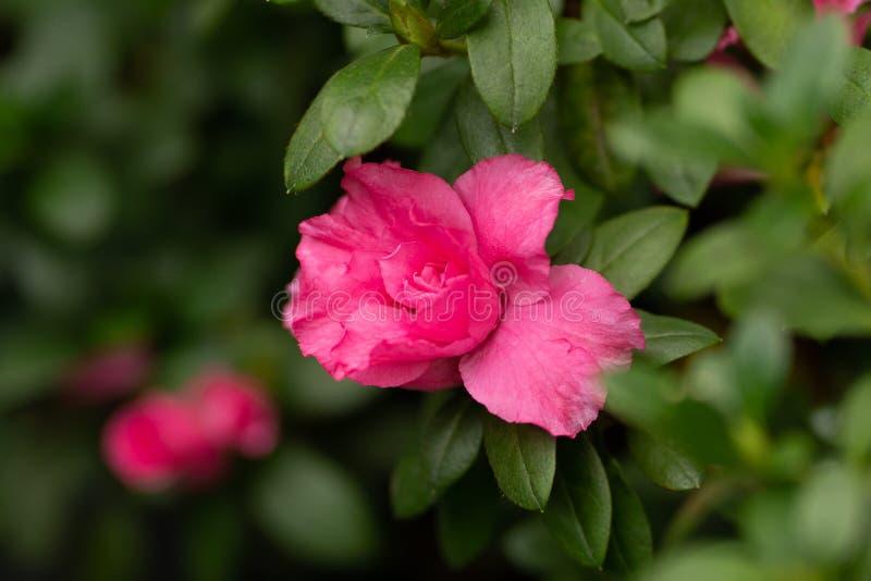 El rosa se alzó en una rama en cierre foto de archivo