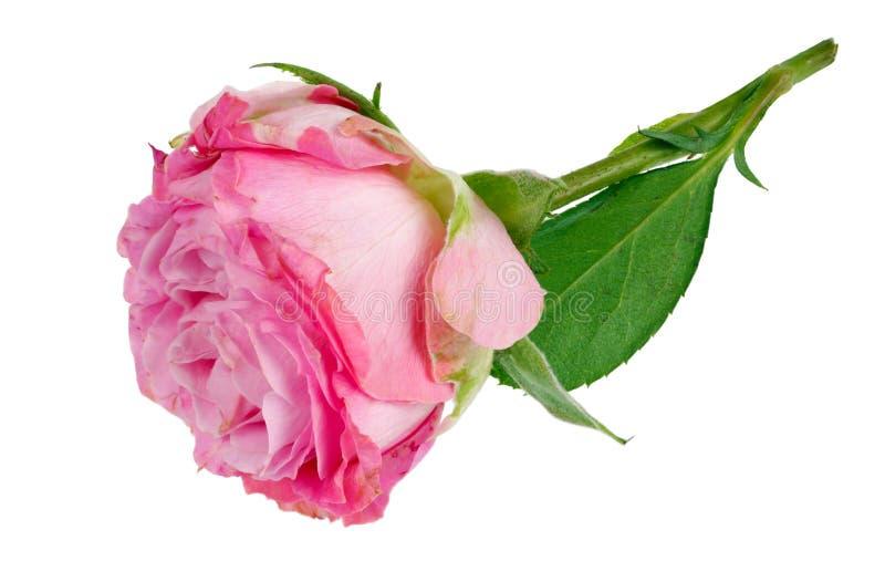 El rosa solo perfecto muy pequeño subió mentira de la flor en macro aislada tabla fotografía de archivo libre de regalías