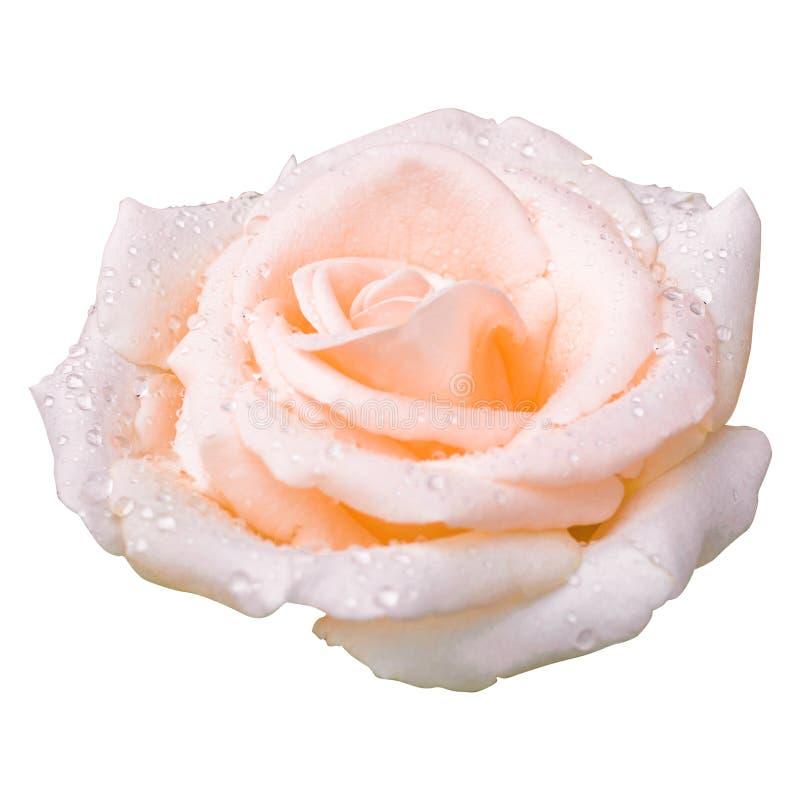 El rosa subió el amor del día de tarjeta del día de San Valentín aislado en el fondo blanco fotos de archivo libres de regalías