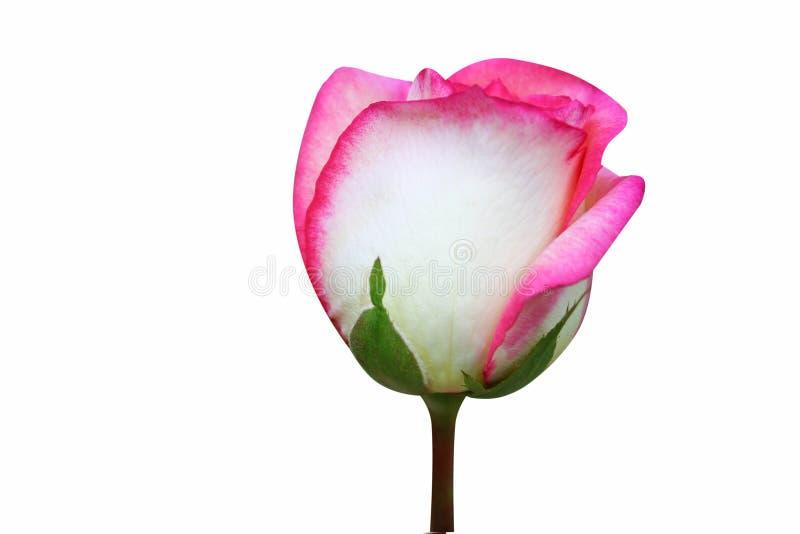 El rosa subió flor aislada en el fondo blanco, flor del brote fotografía de archivo libre de regalías