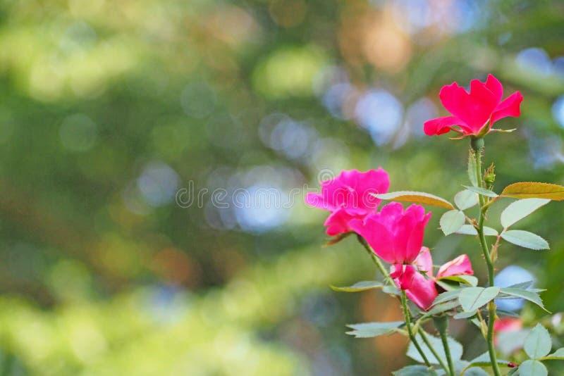 El rosa subió flor en campo fotos de archivo libres de regalías