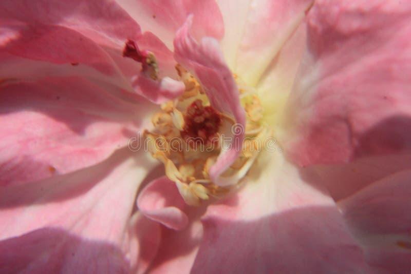 El rosa subió fotografía macra para el fondo imágenes de archivo libres de regalías