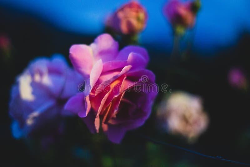 El rosa subió primer durante noche foto de archivo libre de regalías
