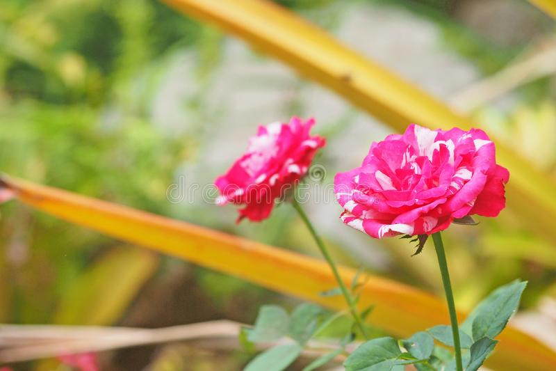 El rosa subi? flor en campo foto de archivo