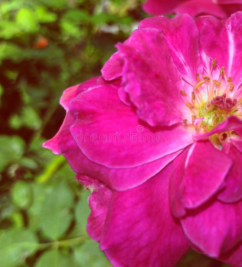 El rosado subió en el it& x27; resplandor completo de s imagenes de archivo