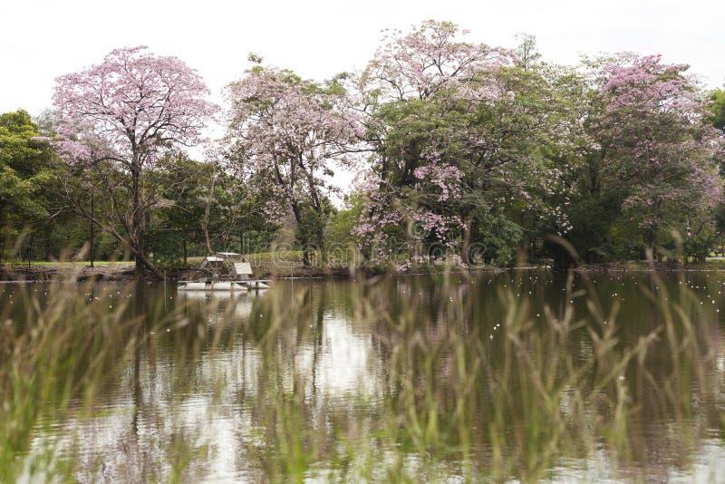 El rosea de Tabebuia es una flor rosada al lado del lago en el parque público fotos de archivo
