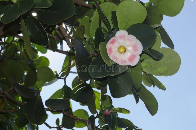 El rosea del Clusia, el árbol manuscrito, copey, manzana de bálsamo, echada-Apple, y abogado escocés, es espec. tropical y subtro foto de archivo