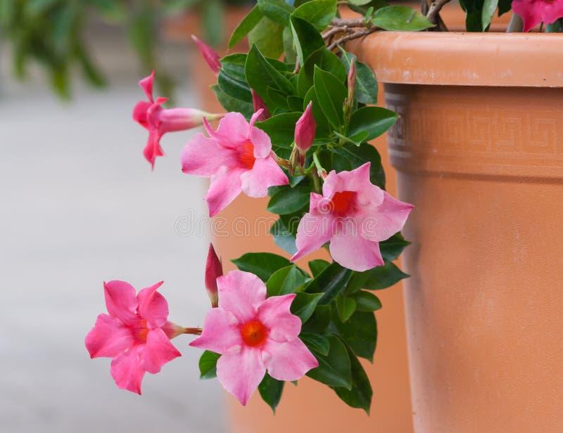 El rosea del grado del sanderi del mandevilla del Apocynaceae, las flores rosadas hermosas forma de campanas fotografía de archivo libre de regalías