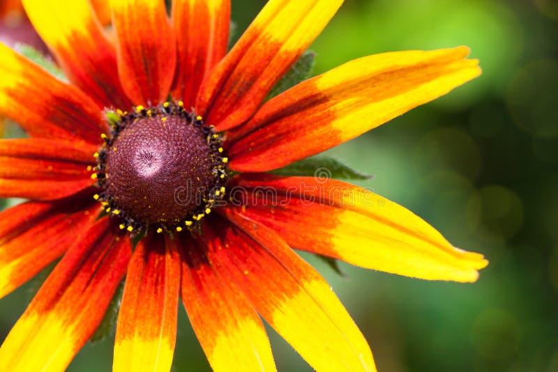 El rudbeckia o el negro amarillo brillante observó la flor de Susan en el jardín foto de archivo libre de regalías