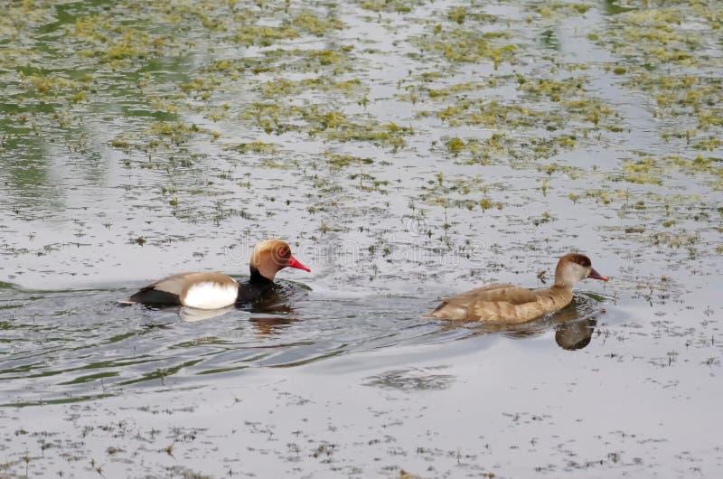 El rufina, el var?n y el femenino de cresta roja de Netta del pato de mar imagen de archivo