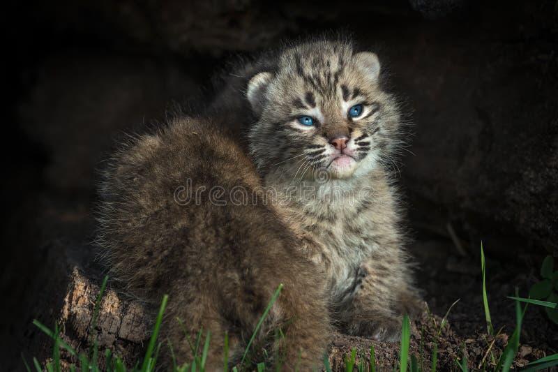 El rufus de Bobcat Kitten Lynx consigue arrastrado encima por el hermano imagen de archivo