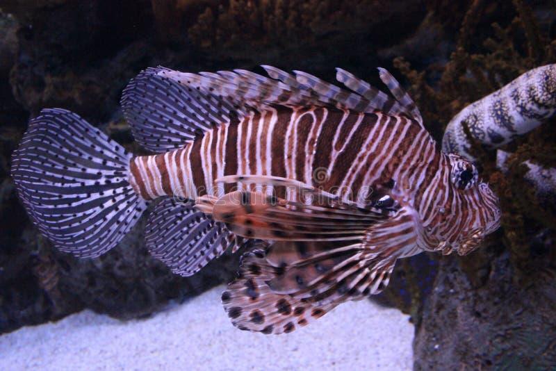 el ryb skorpionów sheikh sharm lokalizacji obrazy royalty free
