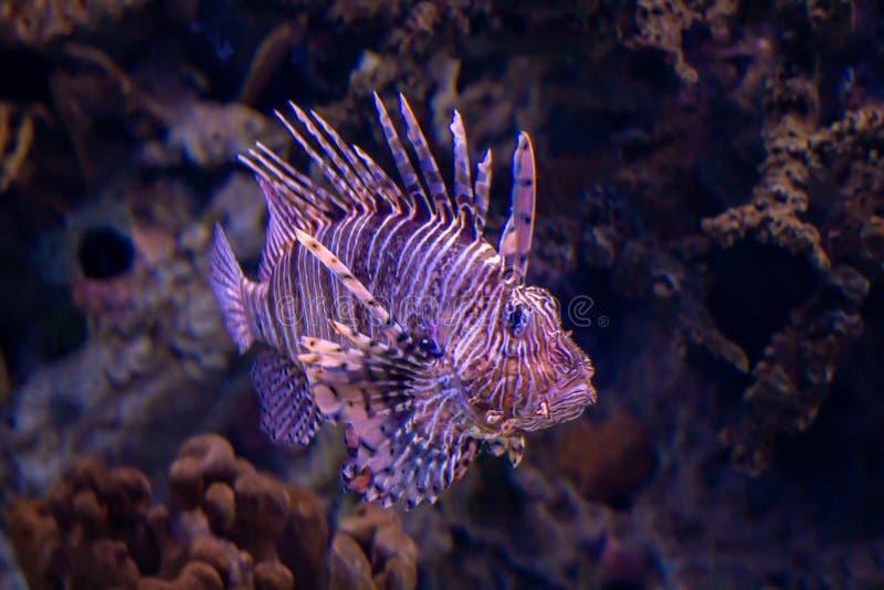 el ryby lwa lokalizacji sharm sheikh zdjęcie royalty free