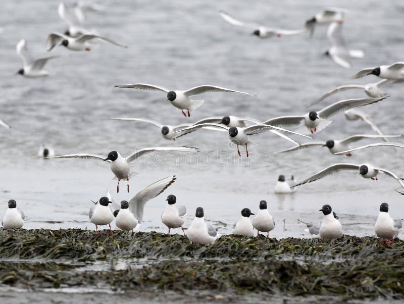 El ` s de Bonaparte Gulls el aterrizaje fotos de archivo