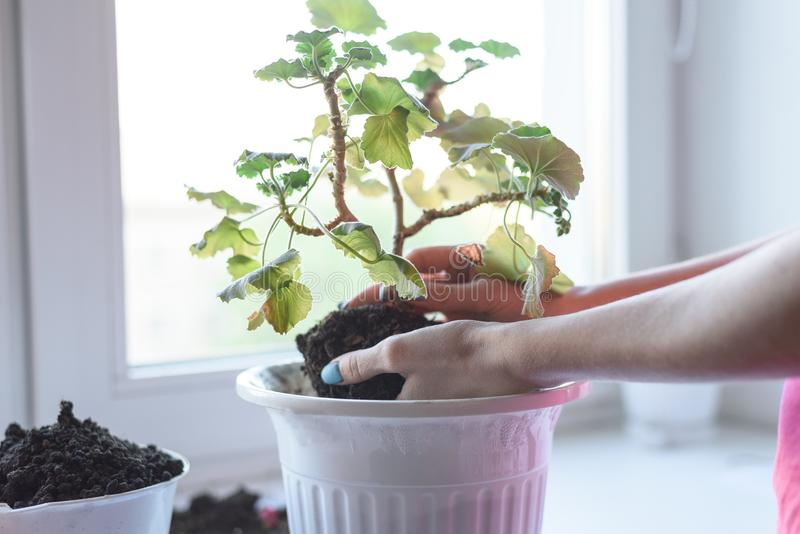 El ` s de las mujeres da sostener la flor del geranio con la raíz y el suelo, trasplantando en el nuevo pote, fertilizante, cuida foto de archivo