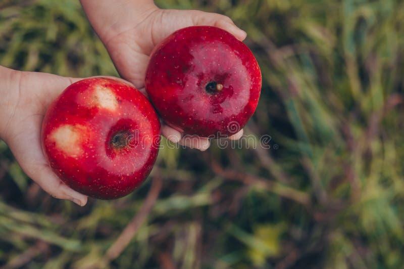 El ` s del niño da sostener una manzana en fondo rojo Jardín del otoño, cosecha en la granja, concepto agrícola del frunce Frutas imagen de archivo