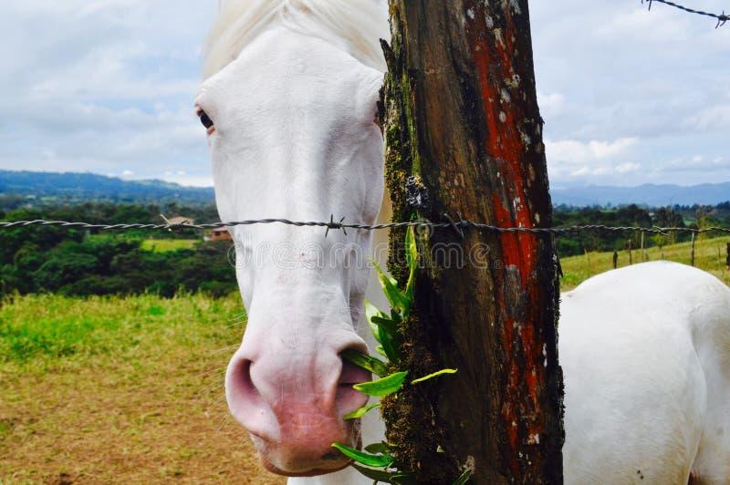 El Sabino Biały koń obrazy stock