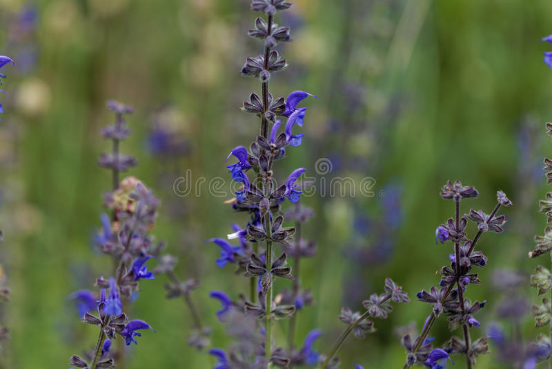 El sabio del prado florece el pratensis de Salvia foto de archivo