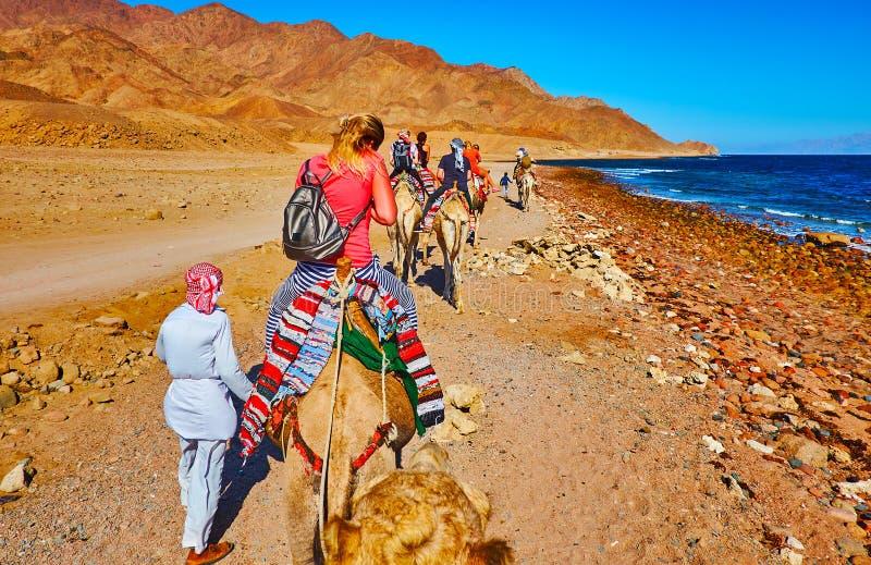 El safari turístico del camello, Sinaí, Egipto imagen de archivo libre de regalías