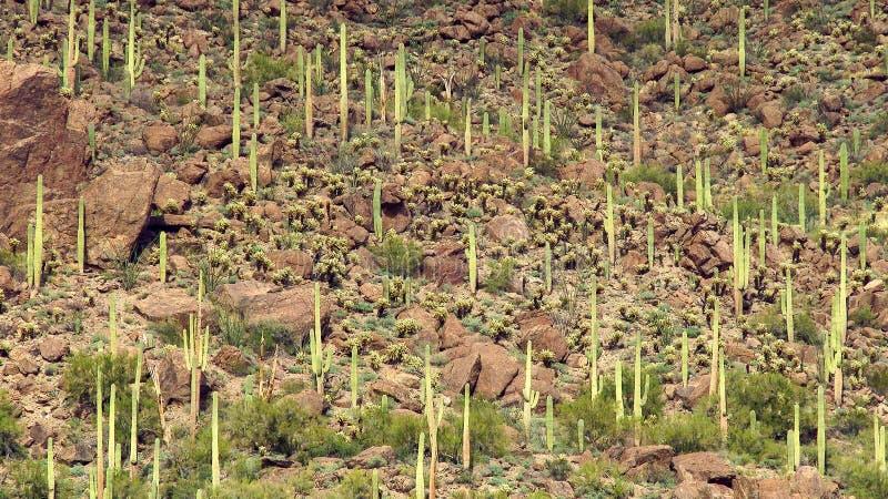 El Saguaro cubrió paisaje del desierto imagen de archivo