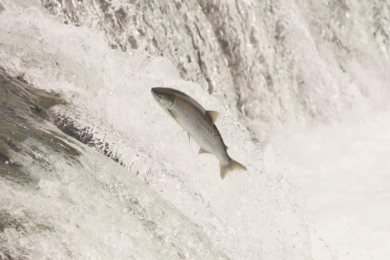 El salmón que salta los arroyos cae en el agua blanca foto de archivo
