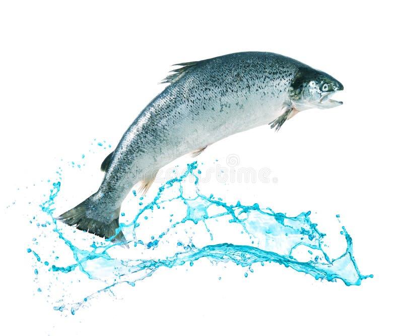 El saltar de color salmón de los pescados del agua imagen de archivo libre de regalías