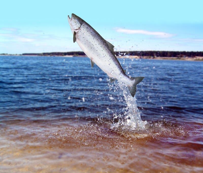 El saltar de salmones del agua imagenes de archivo