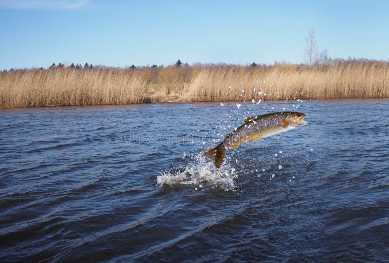 El saltar de salmones del agua imágenes de archivo libres de regalías