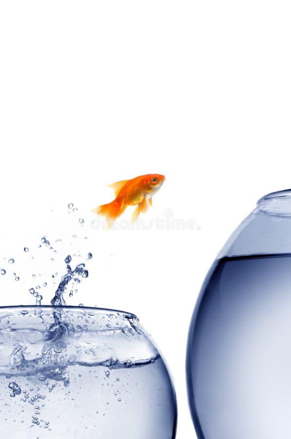 El saltar del Goldfish del agua fotos de archivo libres de regalías