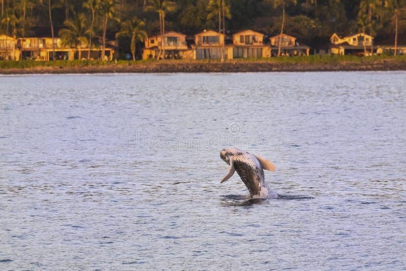El saltar joven del becerro de la ballena del agua que juega en Maui Hawaii imagen de archivo libre de regalías