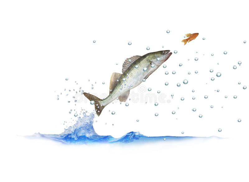 El saltar para el zander de los pescados imagenes de archivo