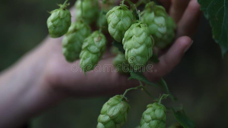 El salto de la cerveza crece en granja durante cosecha foto de archivo