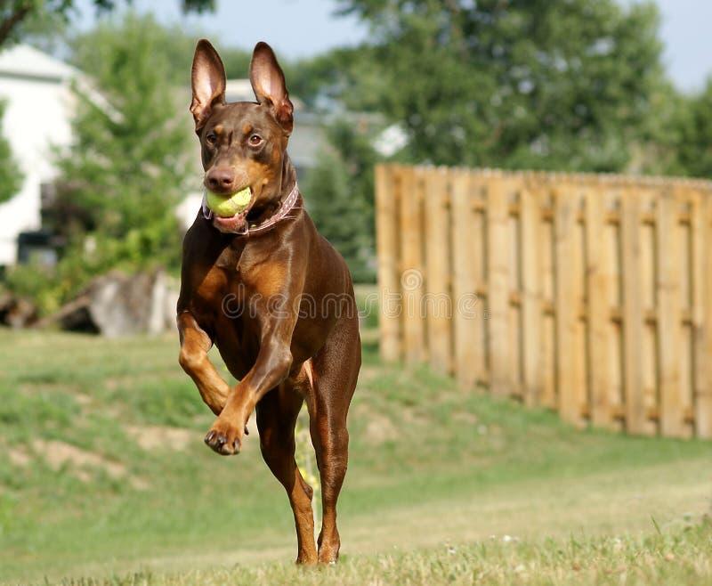 El salto del Doberman foto de archivo libre de regalías
