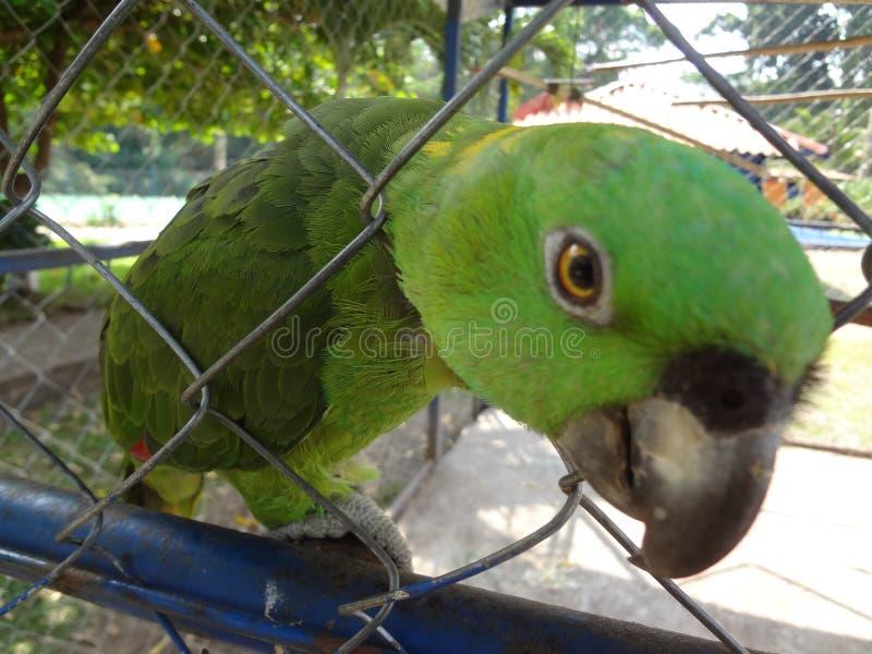 El Salvador Parrot royalty free stock photos