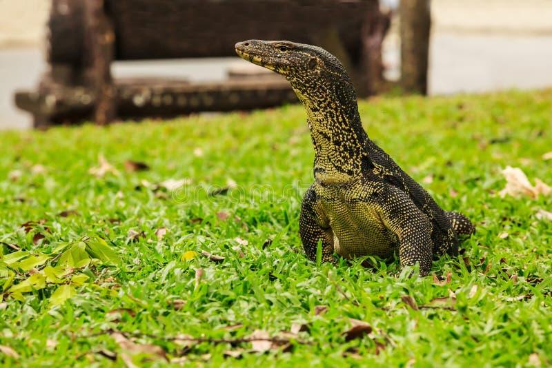 El salvator del Varanus, conocido comúnmente como el monitor de agua o monitor de agua común, es un natural grande del lagarto a  fotos de archivo