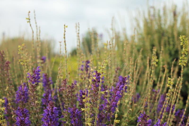 El salvia púrpura del jacinto de la flor con verde se va al aire libre en naturaleza imágenes de archivo libres de regalías