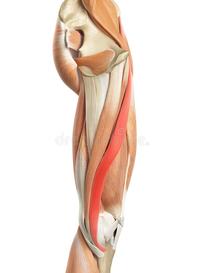 El sartorio stock de ilustración. Ilustración de anatomía - 58450637