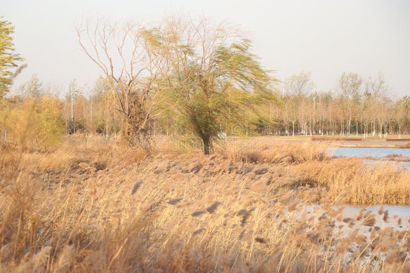 El sauce obstinado en invierno fotos de archivo