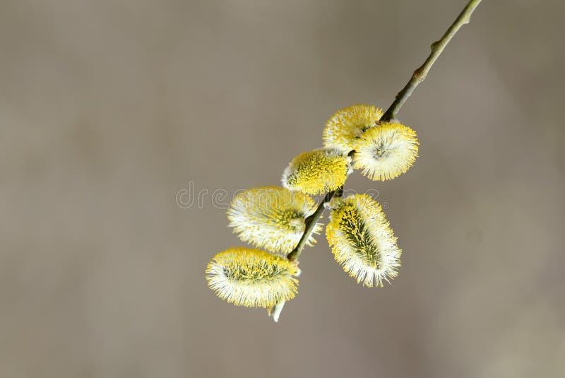 El sauce ramifica con los brotes amarillos mullidos en primavera fotografía de archivo libre de regalías