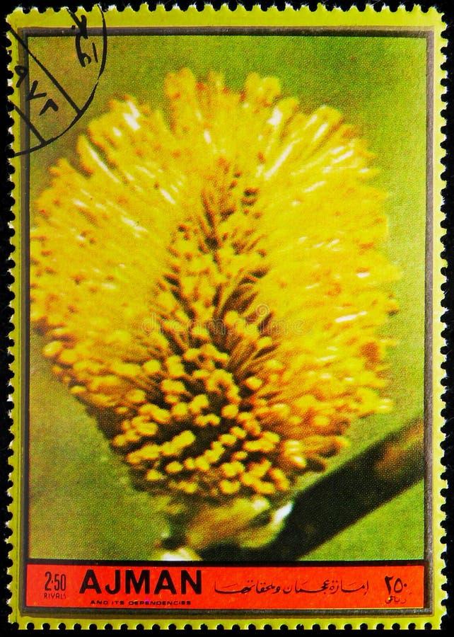 El sello de Postage impreso en Ajman (Emiratos Árabes Unidos) muestra Salix Capraea, serie Flores, alrededor de 1972 foto de archivo