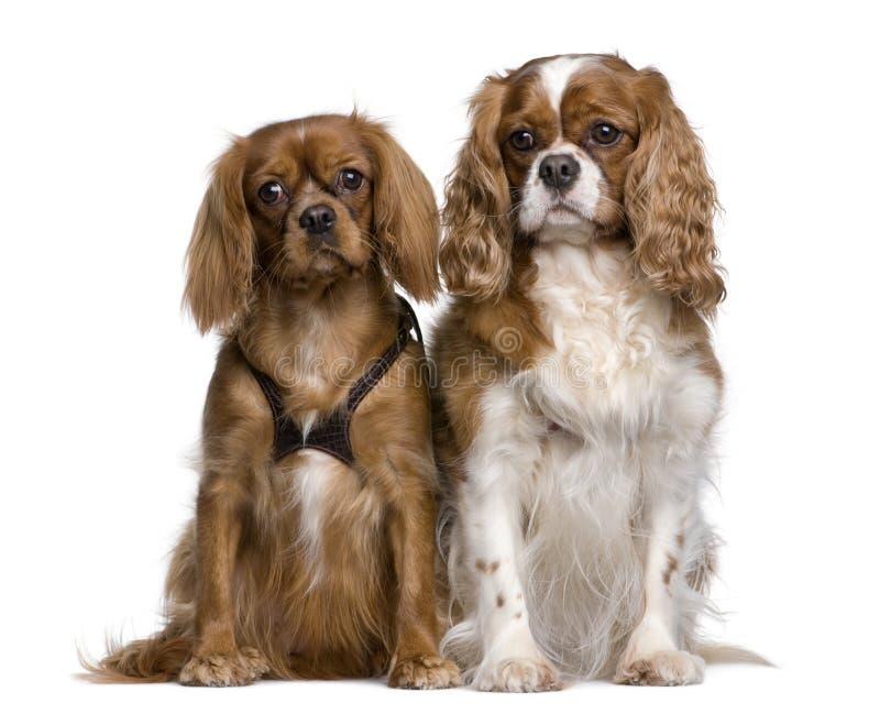 El sentarse arrogante de dos perros de aguas de rey Charles fotografía de archivo libre de regalías