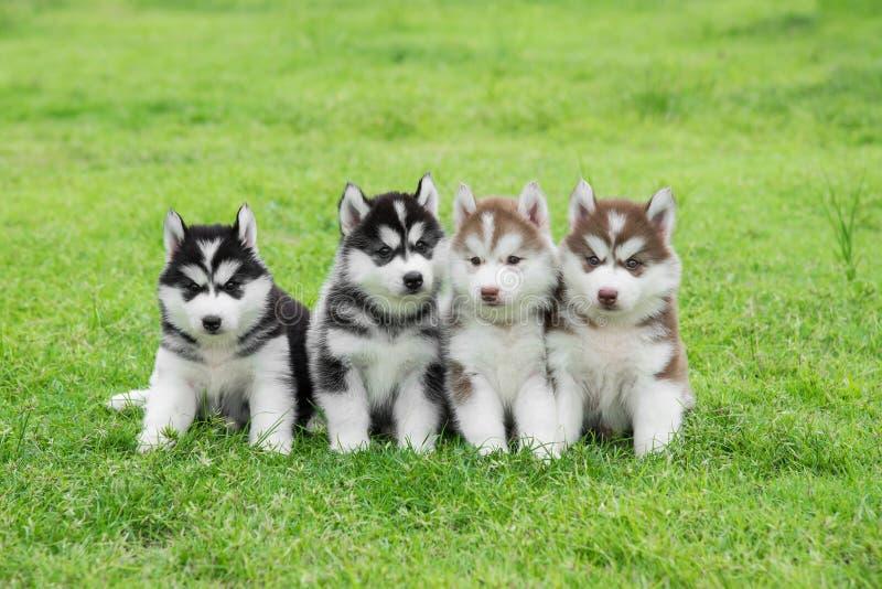 El sentarse de cuatro perritos del husky siberiano foto de archivo